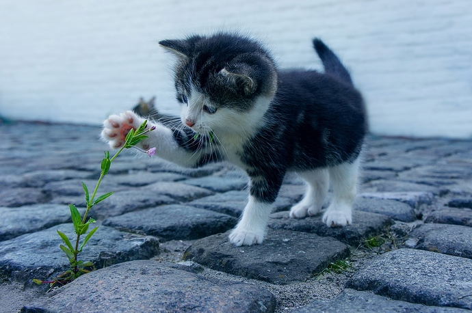 kitty%20flower