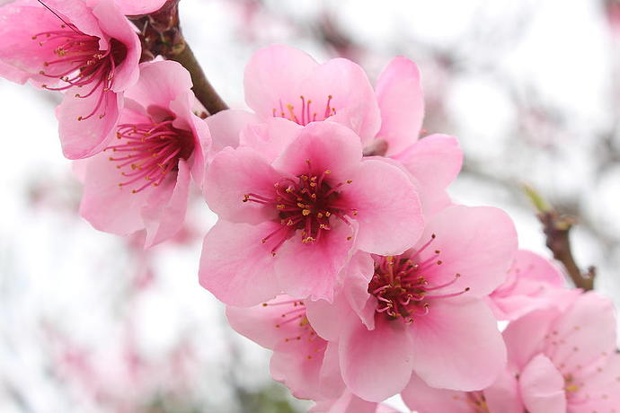 wonderful-close-up-of-blooming-cherry-blossom-pink-flowers-with-blurry-background-ana-fidalgo
