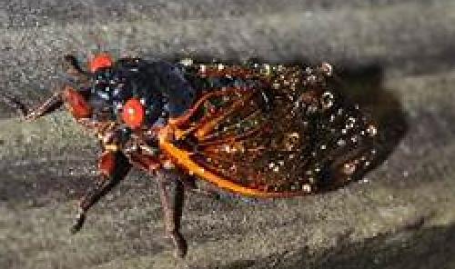 Cicada 21