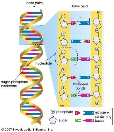 human-genome-deoxyribonucleic-acid-base-pairs-bases