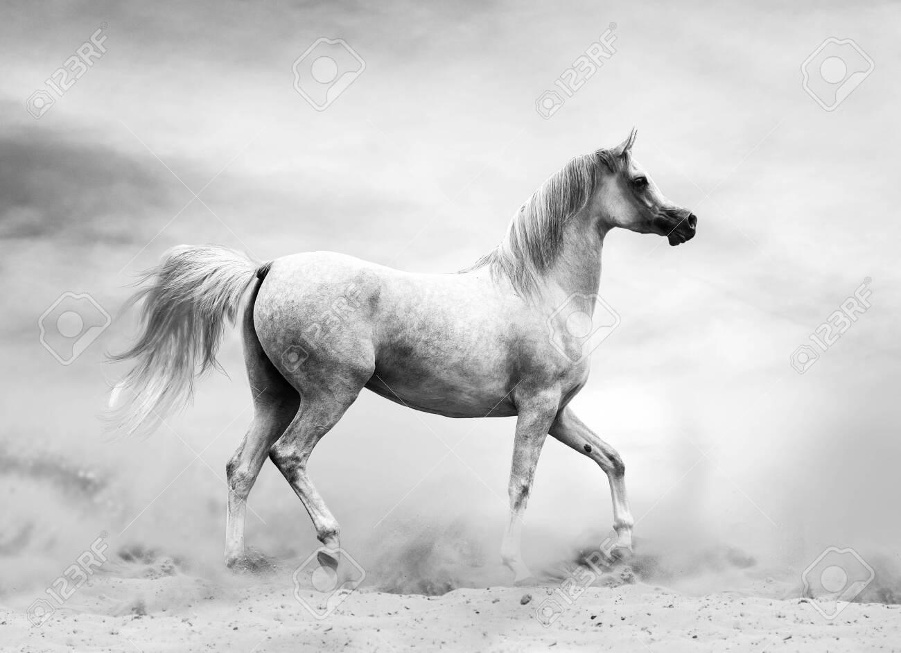 128592064-arabian-horse-in-the-desert-black-and-white-shot