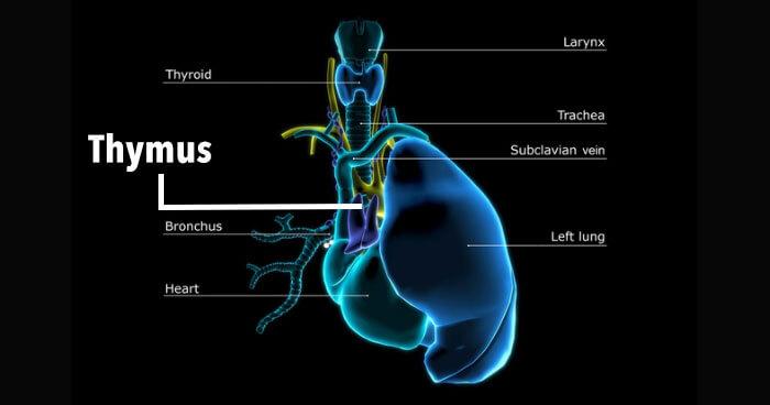 thymus_diagram