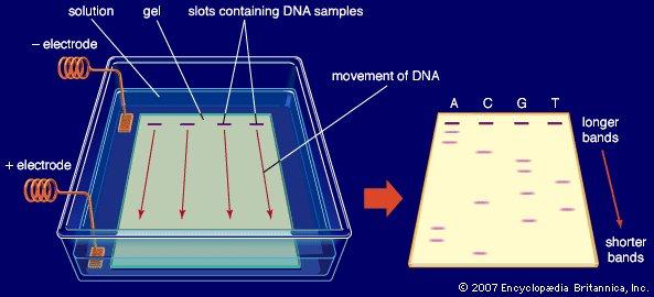 gel-electric-field-agarose-buffer-solution-DNA