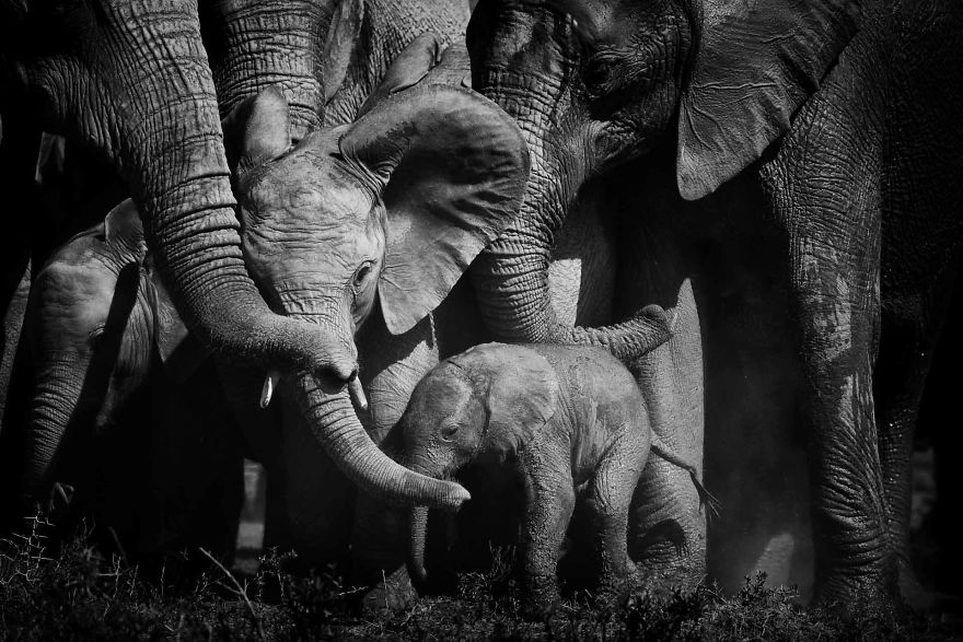 My-Love-of-Black-and-White-Photography-of-Elephants-5f24142e3e5d0__880